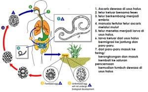 cacing perut 2